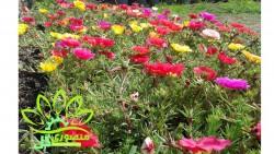 منصوری گل2