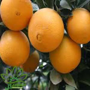 نهال پرتقال تامسون پاکوتاه