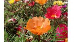 منصوری گل