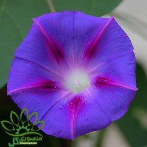 بذر گل نیلوفر پیچ آبی و بنفش