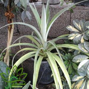 بوته میوه آناناس
