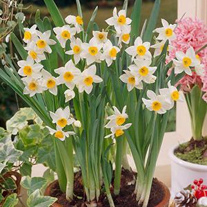 پیاز گل نرگس معطر شیراز ۵ عددی درجه یک