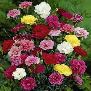 بذر گل میخک ایرانی الوان