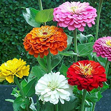 بذر گل آهار پا متوسط الوان