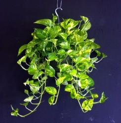 epipremnum-aureum-golden-pothos-vine-devil-s-ivy-centipede-vine-1000184621-1346869752