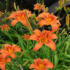 پیاز گل زنبق رشتی ۳ عددی
