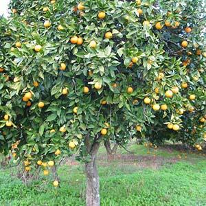 طریقه کاشت و نگهداری درخت پرتقال و مرکبات