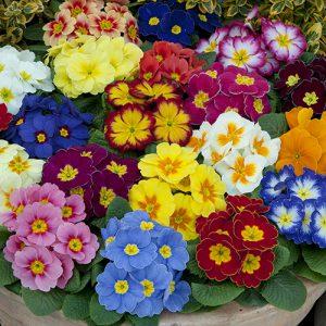 بذر گل پامچال الوان