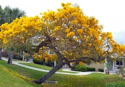 Yellow Tabebuia / Tabebuia Caraiba