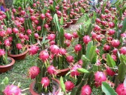 dragon-fruit-plant