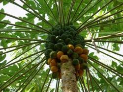 papaya-3