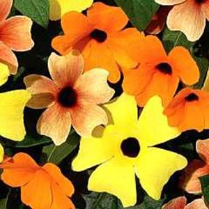 بذر گل پیچک سیاه چشم زرد و نارنجی