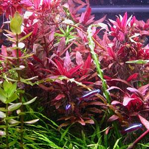 بذر گیاه آکواریومی بنفش