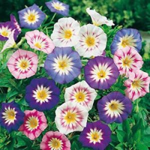 بذر گل پیچک سه رنگ