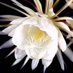 گرانترین گل جهان( ملکه شب)