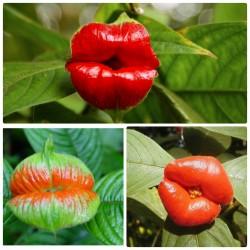 Psychotria-Elata222