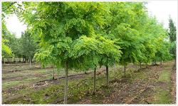 Robinia-pseudoacacia-Frisia1