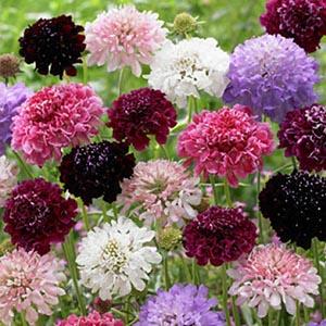 بذر گل اسکابیوزا الوان