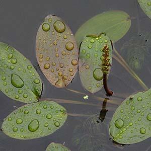 بذر گیاه آبزی و آکواریومی pondweed