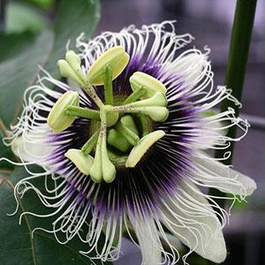 بذر گل ساعتی Passiflora Edulis Flavicarpa