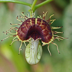 بذر پیچک کمیاب Aristolochia Fimbriata