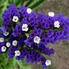 بذر گل لیمونیوم آبی