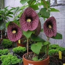 بذر پیچک کمیاب Aristolochia Elegans