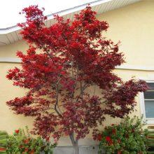 بذر درخت افرای سرخ ایستاده