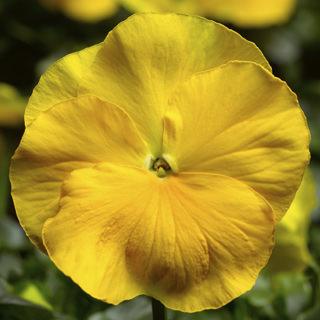 بذر گل بنفشه زرد گلدرشت ایرانی