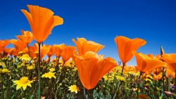 california-poppies-7628
