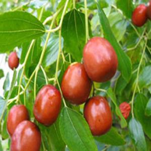 بذر درخت عناب