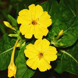 بذر گل لاله عباسی زرد