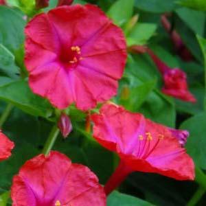 بذر گل لاله عباسی قرمز