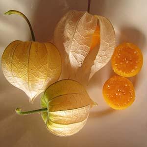 بذر فیسالیس Peruviana