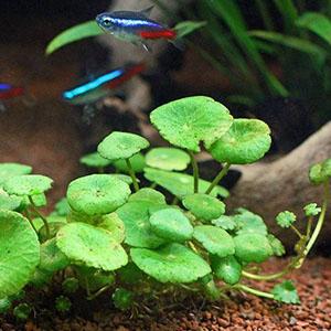 گیاه آبزی و آکواریومی آب قاشقی