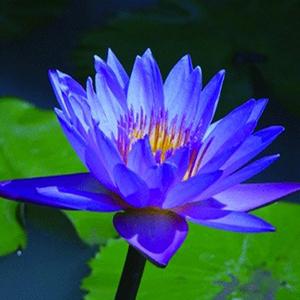 بذر نیلوفر آبی Blue Water Lily