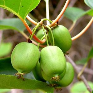 بذر کیوی سرد سیری Actinidia arguta