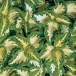 بذر حسن یوسف سبز و سفید