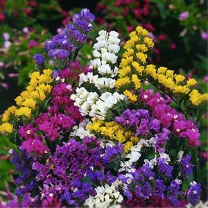بذر گل لیمونیوم الوان