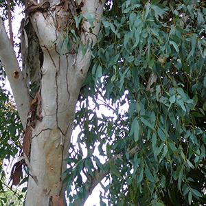 بذر درخت اکالیپتوس
