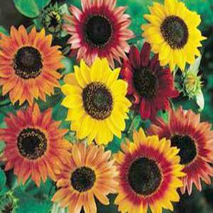 بذر گل آفتابگردان زینتی الوان