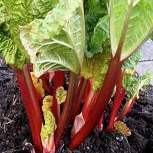 بذر گیاه داروئی ریواس