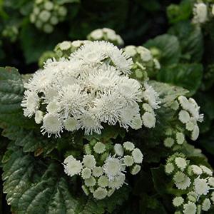 بذر گل ابری سفید