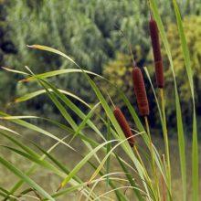 بذر گیاه لوئی