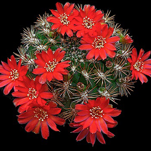 بذر کاکتوس ربوتیا