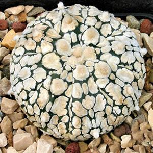 بذر کاکتوس آستریاس سوپرکاباتو