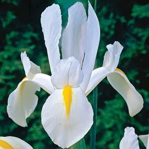 پیاز زنبق رنگ سفید ۵ عددی