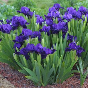 پیاز زنبق پومیلا رنگ آبی ۳ عددی
