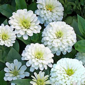 بذر گل آهار پاکوتاه پرپر سفید