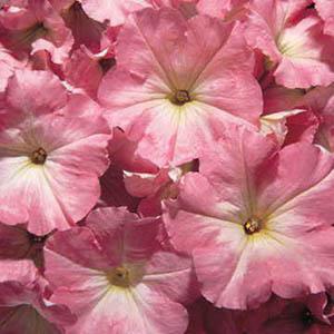 بذر گل اطلسی گلدرشت صورتی